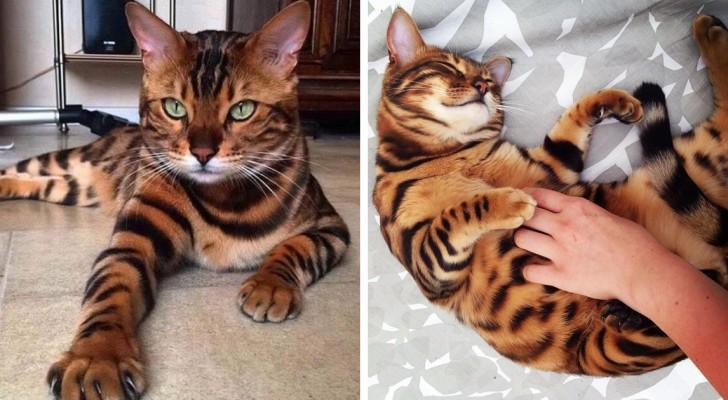 Wunder der Natur: Diese Bengalische Katze ist derart perfekt, dass es schon fast unecht wirkt
