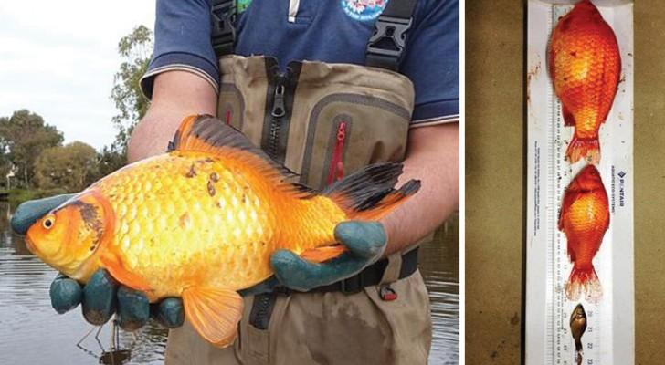 Warum du deine Goldfische NIEMALS in freie Wildbahn aussetzen darfst